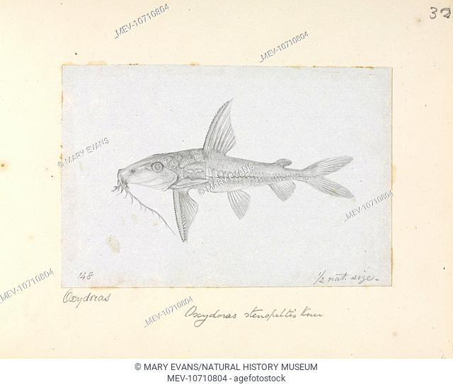 Drawing by Alfred Russel Wallace of the catfish Hemidoras stenopeltis from Cuyucuyu, Upper Rio Negro
