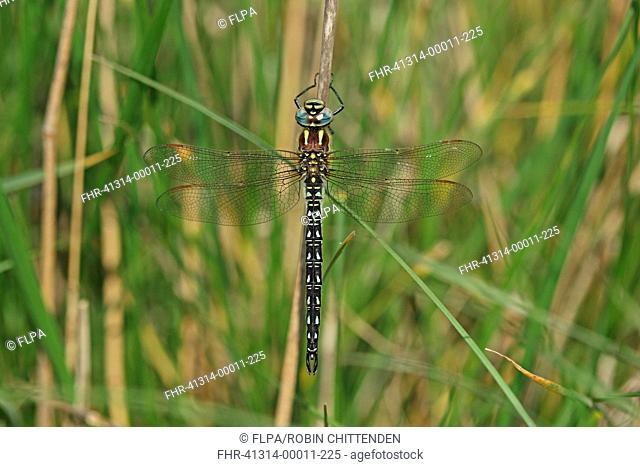 Hairy Dragonfly Brachytron pratense adult male, resting on stem, Tulcea, Danube Delta, Dobrogea, Romania, may