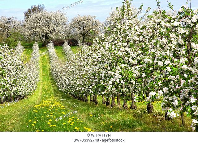 apple tree (Malus domestica), Flowering fruit apple tree orchard with dandelion , Belgium, Haspengouw