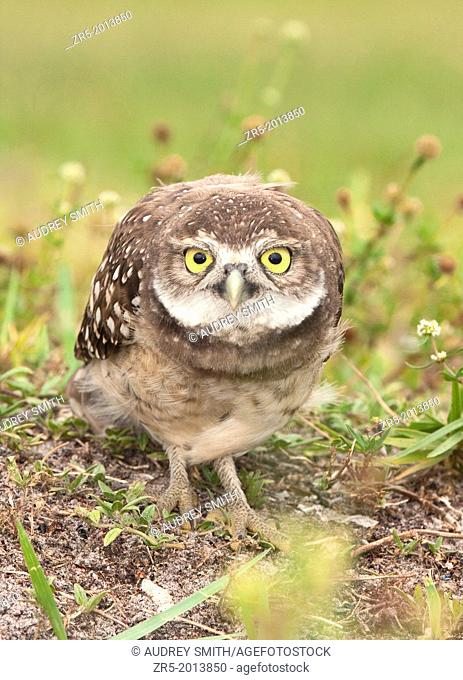 Adult burrowing owl in defensive posture, Florida, USA