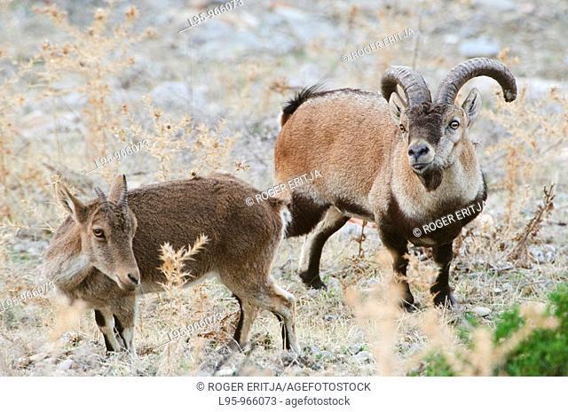 Male Spanish Ibex Capra pyrenaica at mating time in the maritime cliffs of Maro-Cerro Gordo natural area, Nerja, Spain