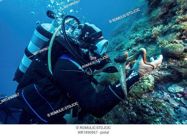 Diver holding octopus, Adriatic Sea, Dalmatia, Croatia