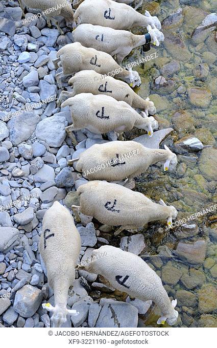 Herd of sheep watering in the river Aragón Subordán. Valey of Hecho. Pyrenees mountains. Huesca province. Aragón. Spain