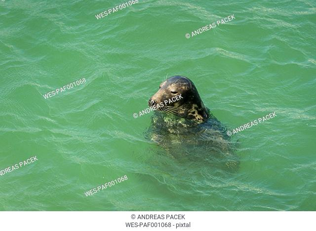 UK, England, Cornwall, St Ives, seal in the ocean