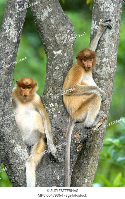 Proboscis Monkey (Nasalis larvatus) juveniles in tree, Sabah, Malaysia