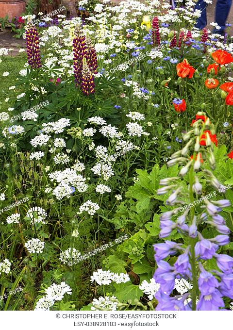 Colourful summer UK cottage garden border with poppies and lupins