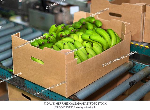 banana box full of ripe green banana in packaging chain