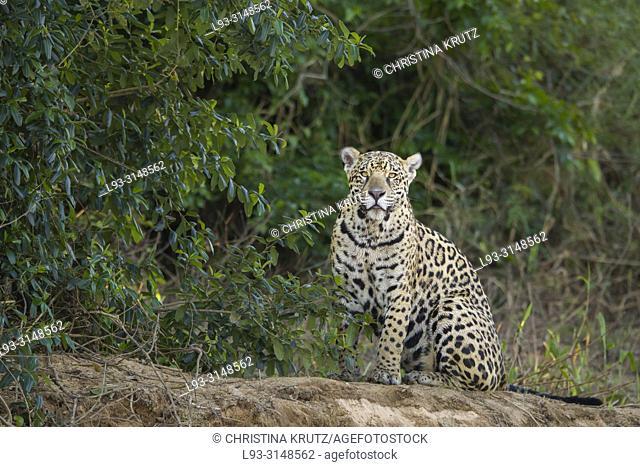 Adult Jaguar (Panthera onca) on the edge of a river, Pantanal, Mato Grosso, Brazil
