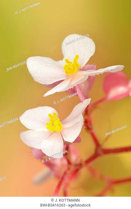 Begonia (Begonia spec.), female flowers