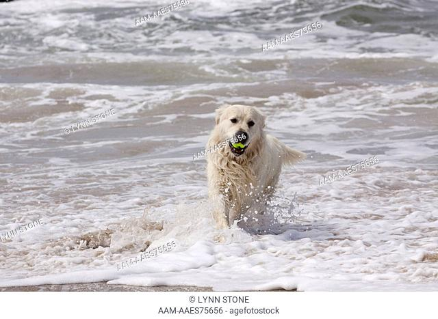 Golden Retriever (cream color, European type) retrieving tennis ball from surf; Southern California, USA