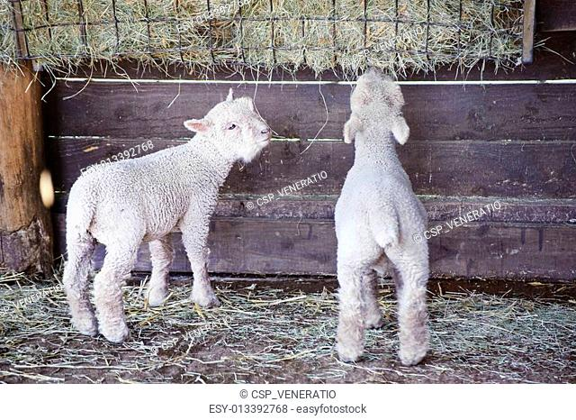 Two adorable Spring lambs eating from food trough on farm