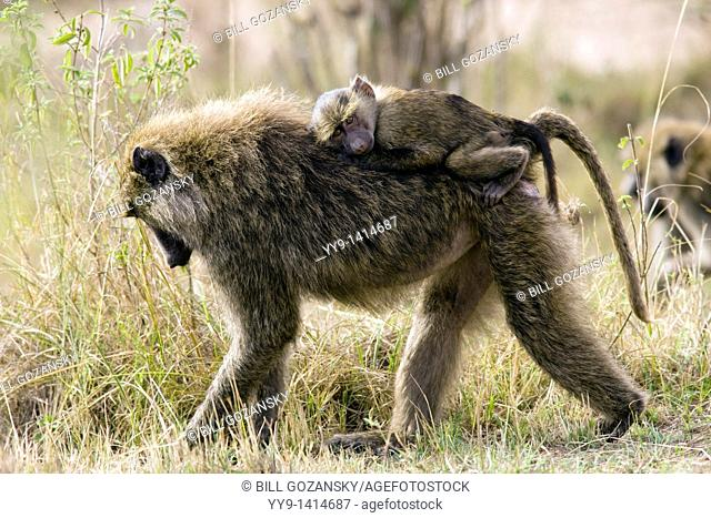 Baby Olive Baboon riding on mother's back - Masai Mara National Reserve, Kenya