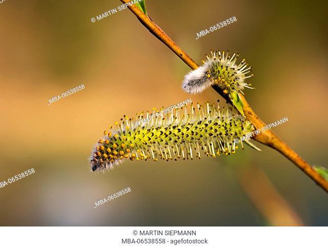 Willow catkin, blossom, purple willow (Salix purpurea), Upper Bavaria, Bavaria, Germany