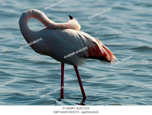 France, Camargue, Greater Flamingo, Phoenicopterus roseus, 03/05/2011
