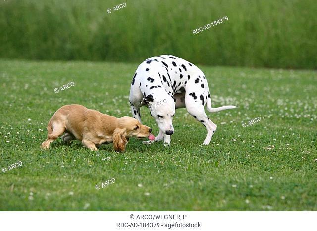 Dalmatian and English Cocker Spaniel, 5 month, calming signal