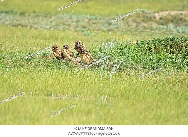 Burrowing Owl (Athene cunicularia) in grasslands, Grasslands National Park, Saskatchewan, Canada