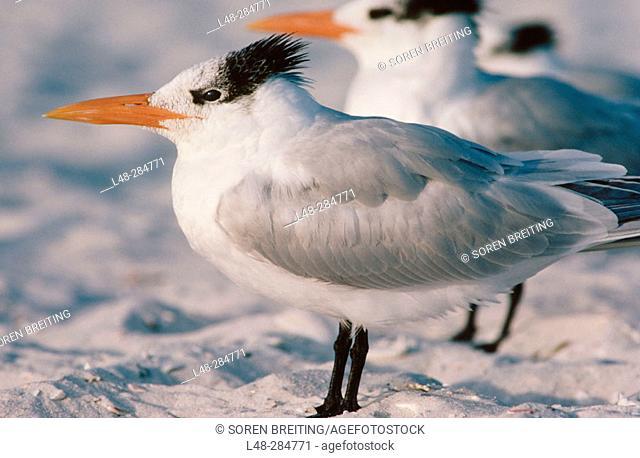 Royal Tern (Sterna maxima). Florida. USA