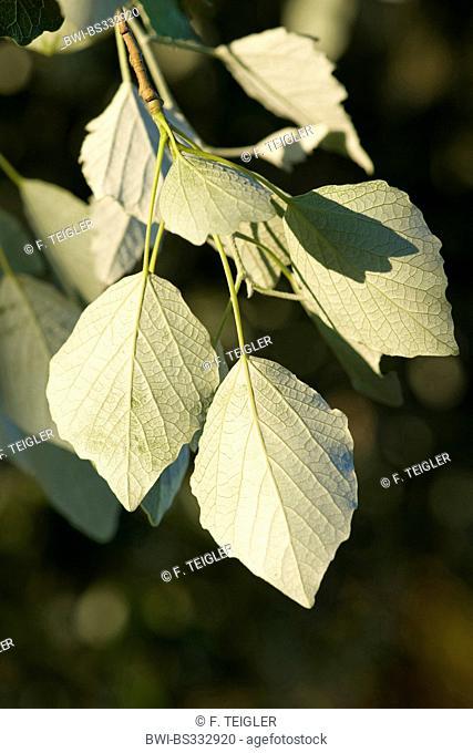white poplar, silver-leaved poplar, abele (Populus alba), underside of the leaves, Germany