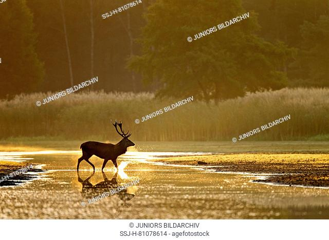 Red Deer (Cervus elaphus). Stag walking in a shallow pond in early morning light. Saxony, Germany