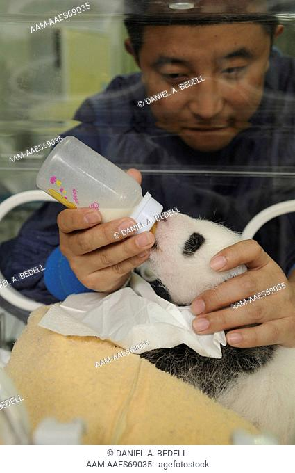 Three month old giant panda cub in incubator being bottle fed by researcher (Ailuropoda melanoleuca) Bifengxia Giant Panda Base,CCRCGP, Ya'an, Sichuan, China