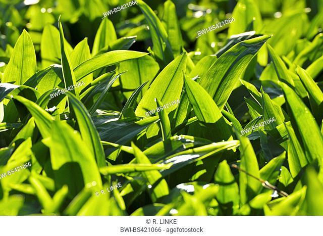 ramsons, buckrams, wild garlic, broad-leaved garlic, wood garlic, bear leek, bear's garlic (Allium ursinum), fresh wild garlic Lleaves in spring, Germany