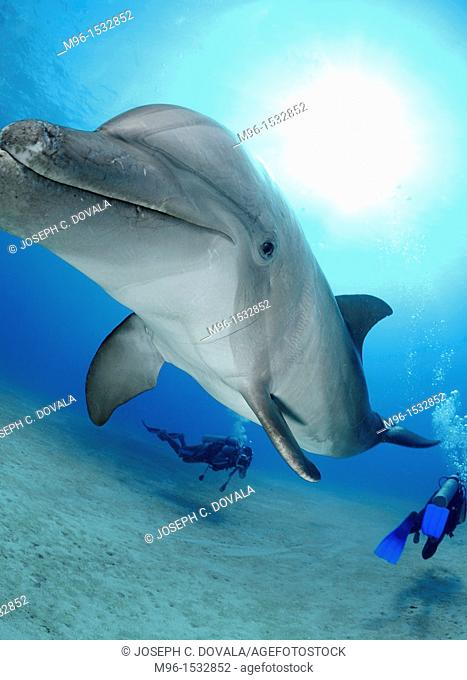 Scuba divers swimming around dolphin, Roatan, Bay Islands, Honduras