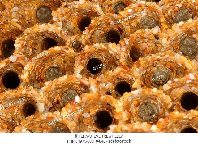 Honeycomb Worm Sabellaria alveolata close-up of tube reef colony, Sandymouth Bay, Cornwall, England, october