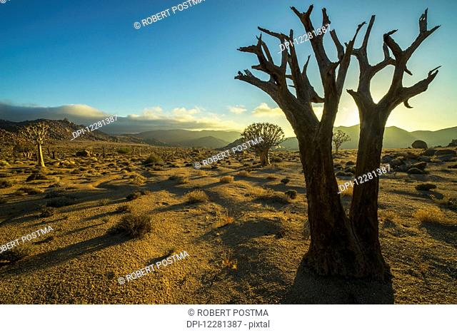 Richtersveld National Park with dead Kookerboom tree; South Africa