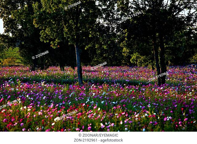 cosmos flower field, Saint-Estèphe, Gironde, Aquitaine, France