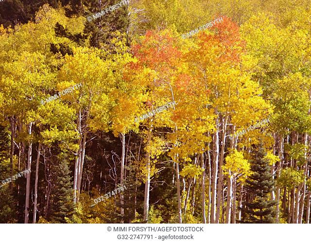 Fall foliage, Aspen trees, Santa Fe National Forest, New Mexico, USA