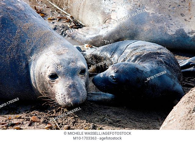 Elephant Seal mom and pup