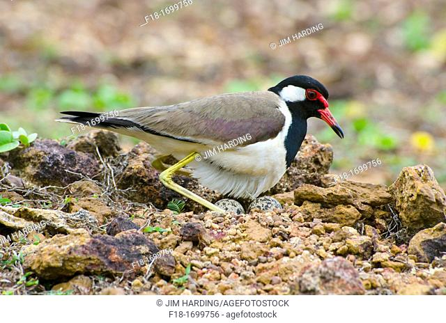 Red wattled lapwing settling to incubate eggs, Sri Lanka