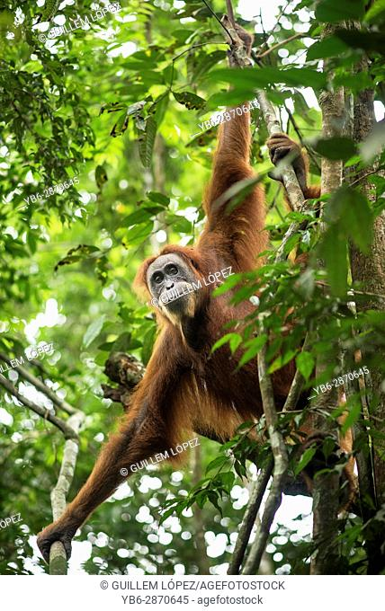 Sumatran Orangutan in the jungle of Bukit Lawang, Sumatra, Indonesia