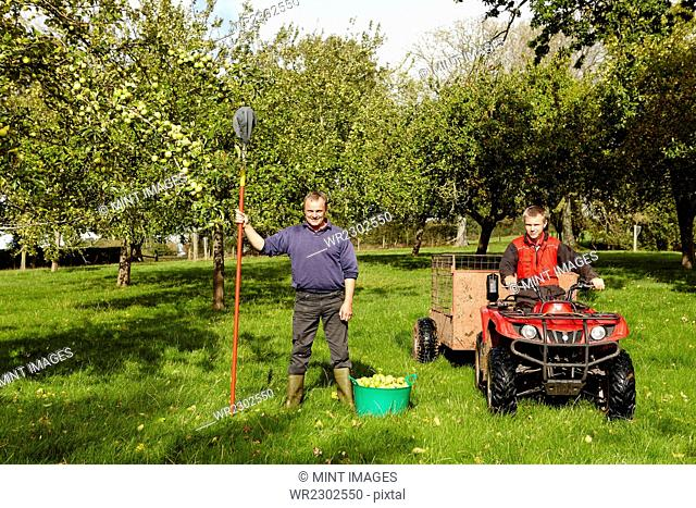A man and his son harvesting the cider apples in an orchard