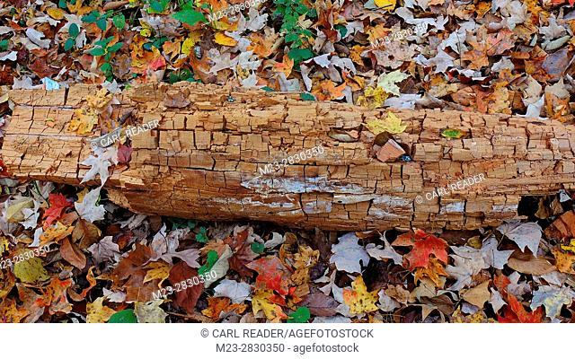 An ancient log rests among autumn leaves, Pennsylvania, USA