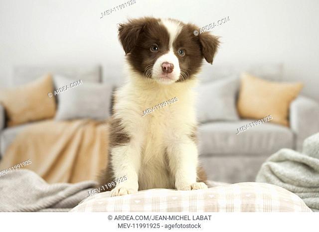 Border Collie Dog, puppy