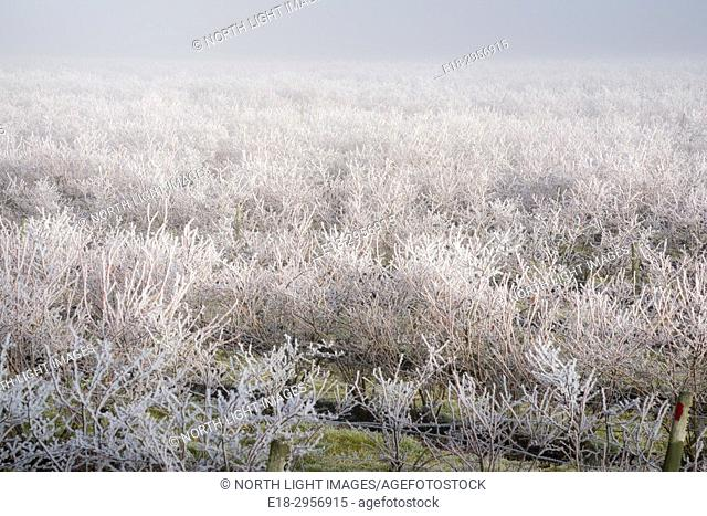 Canada, BC, Delta. Frosty blueberry fields in the winter