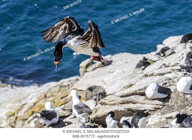 Adult Imperial Shag, Phalacrocorax atriceps, landing at breeding colony on Saunders Island, Falklands