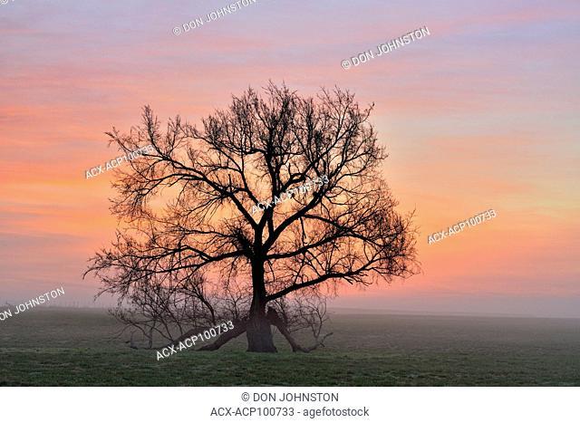 Oak trees in a foggy pasture, Vinita, Oklahoma, USA