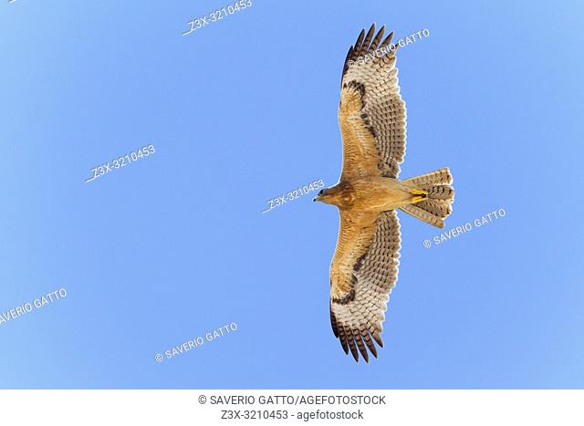 Bonelli's Eagle (Aquila fasciata), juvenile in flight showing underparts