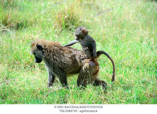 Olive baboon female carrying baby on her back (Papio anubis), Nakuru National Park, Kenya, Africa, October