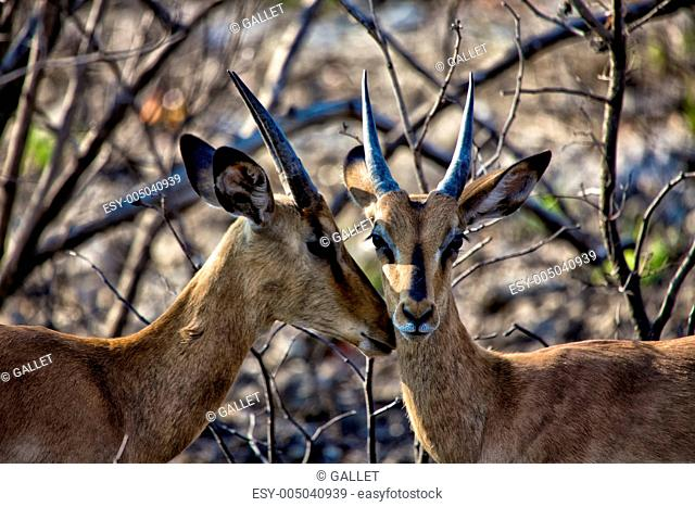 two blackfaced impala
