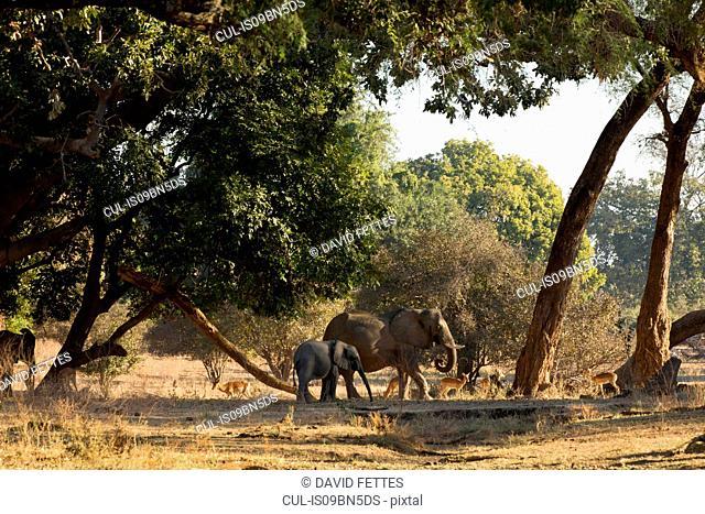 Elephant and calf (Loxodonta Africana), Mana Pools, Zimbabwe