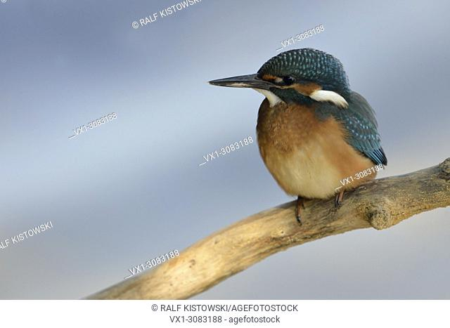 Young Common Kingfisher / Eurasian Kingfisher ( Alcedo atthis ) perching on a branch in front of a clean soft blue background, wildlife, Europe