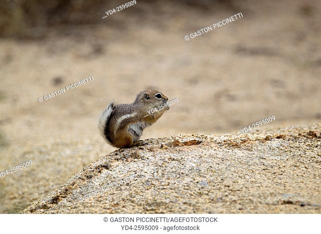 Antelope Ground Squirrel (Ammospermophilus), Hidden Valley Campground, Mojave Desert, Joshua Tree National Park, California, USA