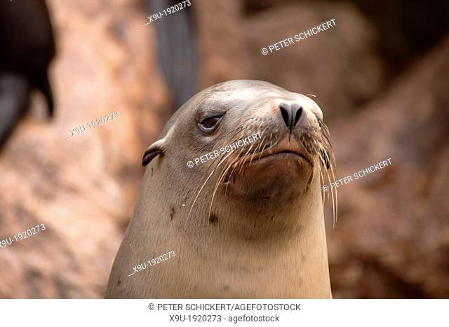Harbor seal at the coast in Monterey, California, United States of America, USA