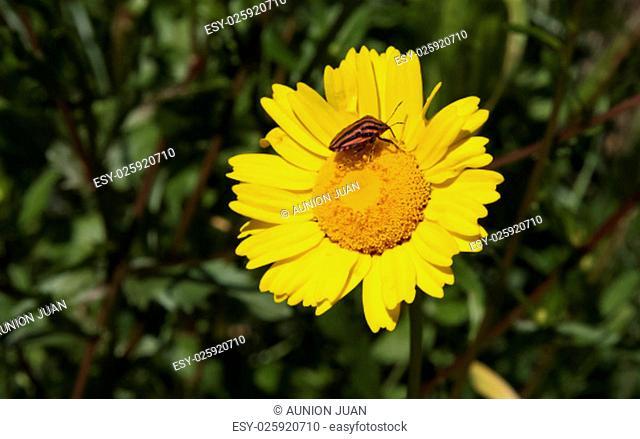 Italian Striped-Bug or Minstrel Bug, Graphosoma lineatum over yellow flower