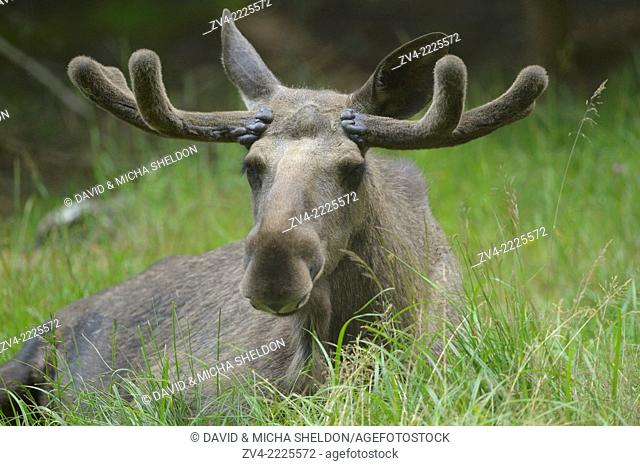 Close-up of a Eurasian elk (Alces alces) in a forest in early summer