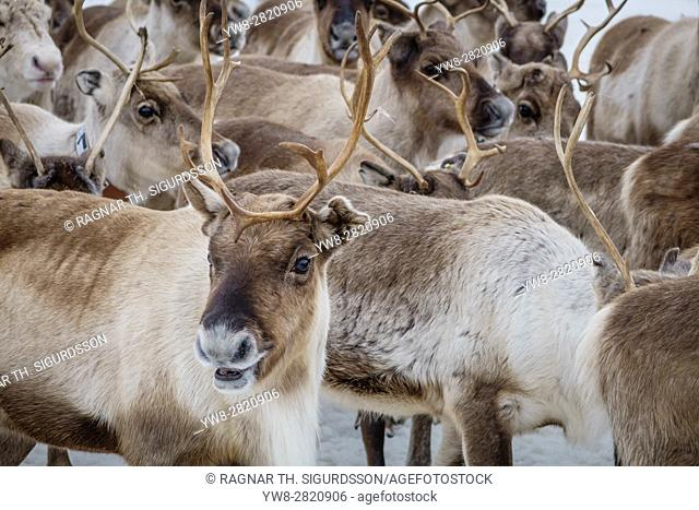 Reindeer herd, Reindeer herding, The Laponian Area, a World Heritage Location, Northern Sweden