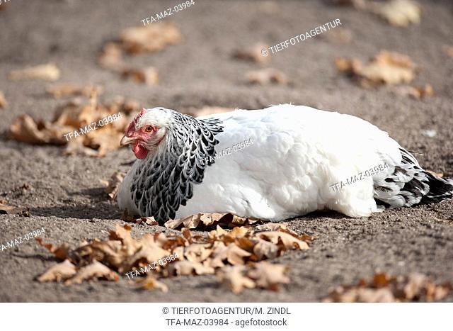 Sundheimer Chicken